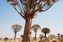 Quiwer tree Stock Photo