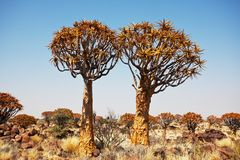 Quiwer tree Stock Images