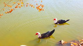 Quizá 2 patos afortunados Fotografía de archivo