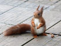 Quizical czerwona wiewiórka sprawdza jego otoczenia Obrazy Royalty Free