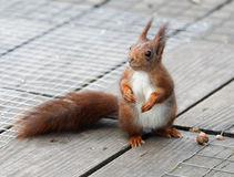 Quizical red squirrel checks his surroundings. Royalty Free Stock Images