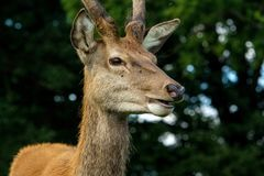 A quizzical deer. Stock Photography
