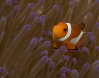 Quizzical False Clown Fish Stock Photography