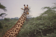 Quizzical Giraffe Royalty Free Stock Photo
