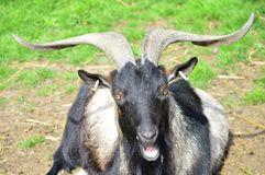 Quizzical Goat. A quizzical black goat talking to the camera Stock Photos