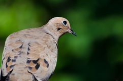 A Quizzical Mourning Dove Perched in a Tree Stock Photography