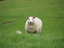 Quizzical sheep Royalty Free Stock Images