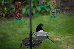 Quizzical sroka na ogrodowym ptasim dozowniku zdjęcie royalty free