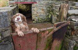 A quizzical Welsh sheepdog peering over a gate. A beautiful Welsh sheepdog peering over a gate with a quizzical expression on a farm in Carmarthenshire Royalty Free Stock Photo