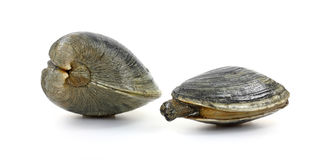 Quohog and Clam Stock Photo