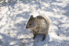 Quokka à l'île de Rottnest, Australie occidentale, Australie photo libre de droits