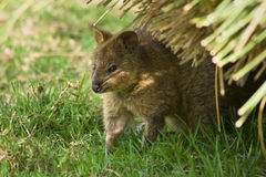 Quokka Photographie stock