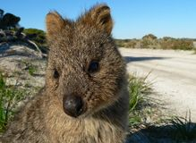 Quokka. Rottnest islands home of the quokkas royalty free stock images