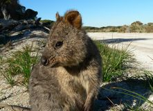 Quokka. Rottnest islands home of the quokkas royalty free stock photo
