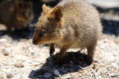 Quokka Stock Photo