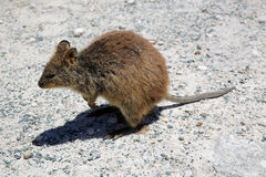 Quokka Royalty Free Stock Photos