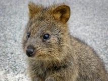 Quokka animal in western australia rottnest island. On the street stock image