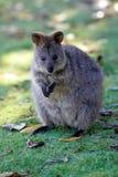 Quokka australiano Imagens de Stock