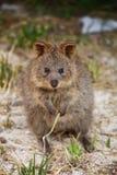 Quokka, Australisch buideldier Stock Afbeelding