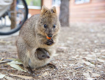Quokka and Baby Royalty Free Stock Photography