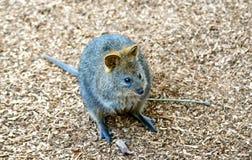 Quokka (brachyurus de Setonix), un kangourou australien mignon et petit Photo stock