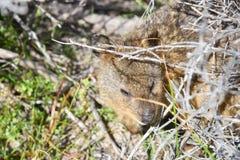 Quokka in Bushland Stock Image