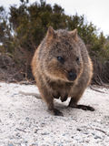 Quokka close-up Royalty Free Stock Images