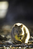 Quokka eating leaf. Australian quokka eating leaf outdoors Stock Photos