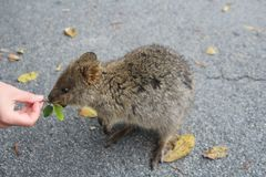 Quokka, marsupial australien aime être alimenté avec des feuilles photos libres de droits