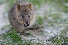 Quokka mignon à l'île de Rottnest Photo libre de droits