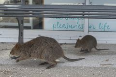 Quokka mother and young looking for food in the streets of Rottnest island, Western Australia. Quokkas are small kangaroos about the size of a domestic cat Royalty Free Stock Image