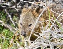 Quokka in Natural Habitat Royalty Free Stock Images