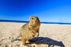 Free Quokka On The Beach Stock Images - 108104674