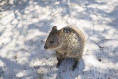 Quokka på den Rottnest ön, västra Australien, Australien royaltyfri foto