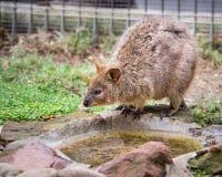 Quokka, parc de faune de Featherdale, NSW, Australie photos stock