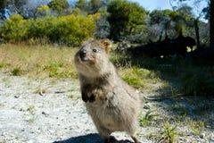 Quokka - Rottnest-Insel - Australien stockbild