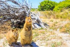 Free Quokka Rottnest Island Royalty Free Stock Images - 108104609