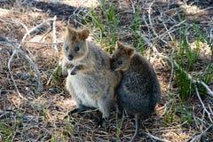 Quokka - Rottnest Island - Australia Stock Photos