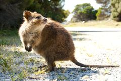 Quokka - Rottnest Island. Quokka on Rottnest Island - Australia Royalty Free Stock Photography