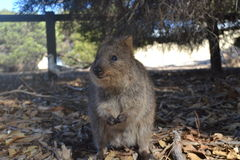 Quokka on Rottnest Island Royalty Free Stock Photos