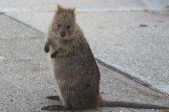 Quokka on Rottnest island, Western Australia. Quokkas are small kangaroos about the size of a domestic cat living on Rottnest island in Western Australia. Space Royalty Free Stock Photography