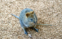 Quokka (Setonix brachyurus), a cute, small Australian kangaroo Stock Photo