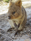 Quokka Royalty Free Stock Image