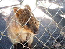 Quokka tellement mignon de Perth Photo stock