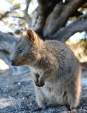 A Quokka into the wild. Rottnest Island. Western Australia. Australia. Rottnest Island is an island off the coast of Western Australia, located 18 kilometres Stock Photography