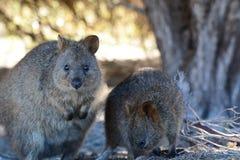Quokkas Isola di Rottnest Australia occidentale l'australia fotografia stock libera da diritti