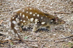 Quoll Fotos de Stock Royalty Free