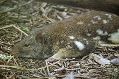 Quoll Foto de Stock Royalty Free