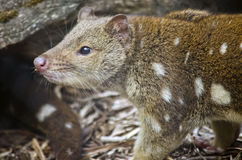 Quoll Fotos de Stock