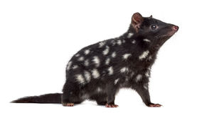 Quoll isolated on white Stock Photos